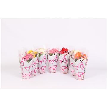 Gerbera 12cm 2+bloem in hartjes hoes