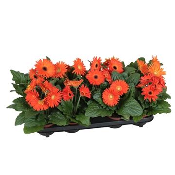 Gerbera belicht 2+bl 12cm excellent oranje (diverse kleurtinten)