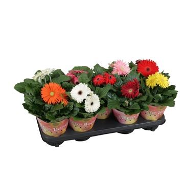 Gerbera patio beauty 12cm 2+bl potcover enkel bloemig