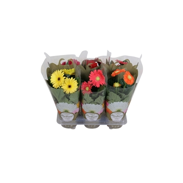 Gerbera belicht 2+ bl 12cm in exclusive carry bag