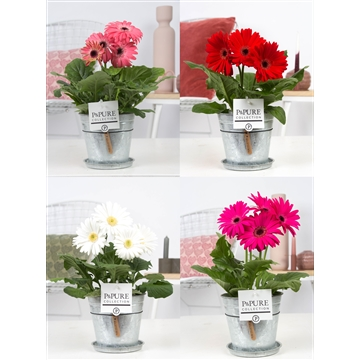 Gerbera belicht 2+ in Pure  Zinc Louise