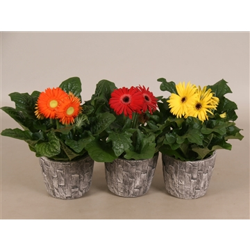 Gerbera gemengd 2+ 12cm in Leisteen pot