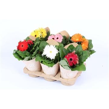 Gerbera gemengd 2+ bl12 cm in Pure Blooms draagtas eco
