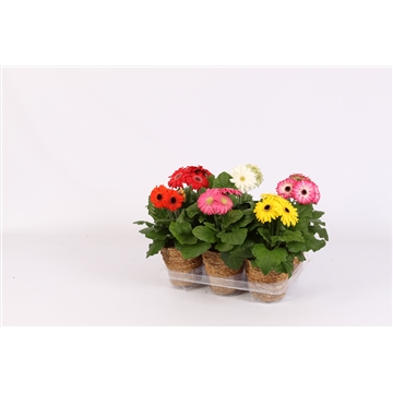 Gerbera belicht 2+ in seagrass pot nature green duurzaam