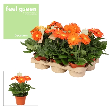 Gerbera oranje tinten 2+ bl. Feel Green, nature
