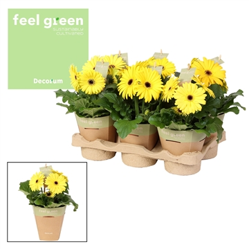 Gerbera geeltinten2+ bl. Feel Green, nature pc