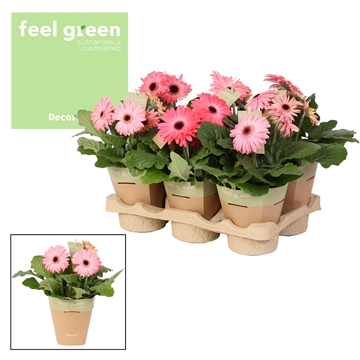 Gerbera rosetinten 2+ bl. Feel Green, nature pc