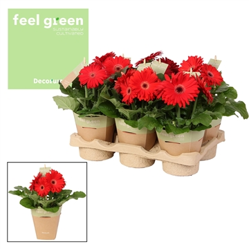 Gerbera roodtinten 2+ bl. Feel Green, nature pc