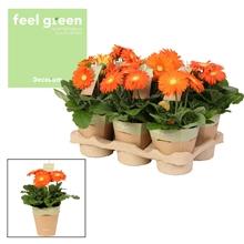 Gerbera oranje tinten 2+ bl. Feel Green, nature pc Decorum