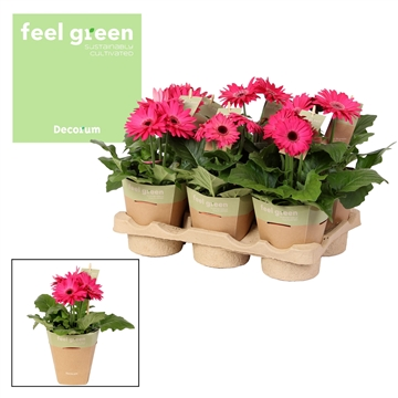 Gerbera paarstinten 2+bl. Feel Green, nature pc