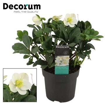 Helleborusn. Mon Blanc 17cm (Xl) Decorum