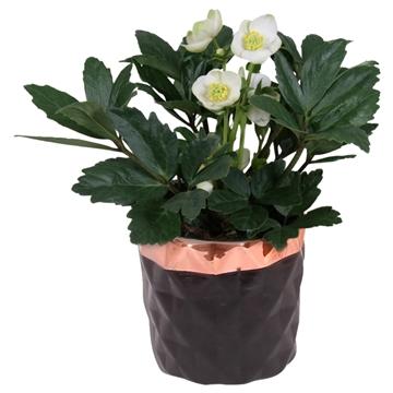 Helleborus n. Christmas Carol in pot zwart met koper