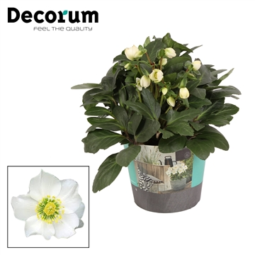 Helleborus n. Christmas Carol Decorum (XL)in potcover