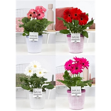 Gerbera gemengd 2+ in pot Pure clay II reddish purple