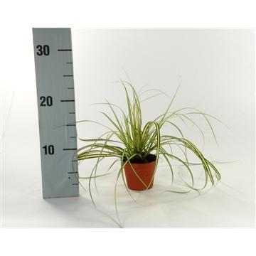 Carex 'Evergold' p8