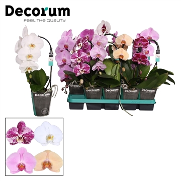 Phalaenopsis mix 1 tak Cascade Decorum 45cm