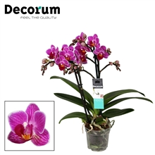 Phalaenopsis  Puebla 2 tak vertakt Decorum