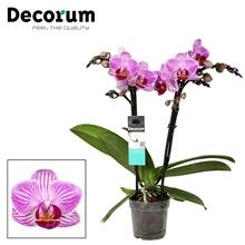 Phalaenopsis  Zurich 2 tak Decorum