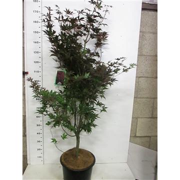 Acer palm. Bloodgood 150-175 P38