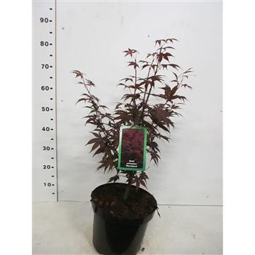 Acer palm. Bloodgood 50-60 P26