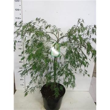 Acer palmatum 'Dissectum 60-80 C15