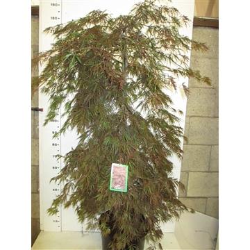 Acer palm. Inaba-shidare 125-150 P38