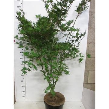 Acer palm. Masu-kagami 125-150 P32