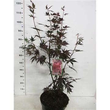 Acer palm. Pixie 80-100 P30