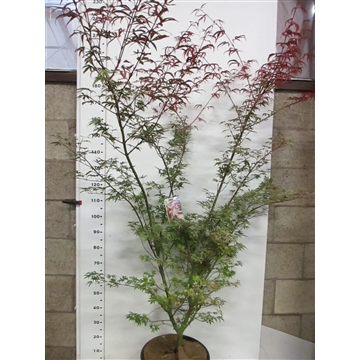 Acer palm. Pink Passion 150-175 P38