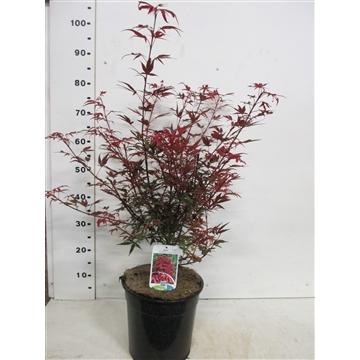 Acer palmatum 'Shaina' 50-60, P28