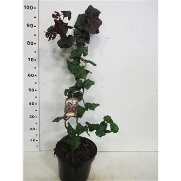 Corylus a. Red Majestic 60-80 P26
