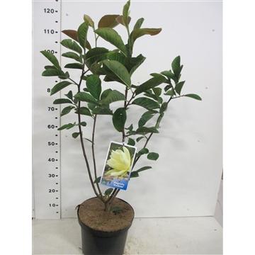 Magnolia Goldstar 60-80 P28