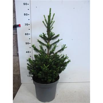 Picea abies Will's Zwerg 50-70 P 23