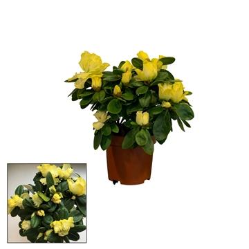 Azalea 9 cm Make upz - Yellow