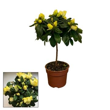 Azalea 9 cm Stam Make Upz - Yellow