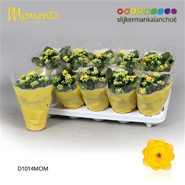 Kalanchoë Moments - Yellow