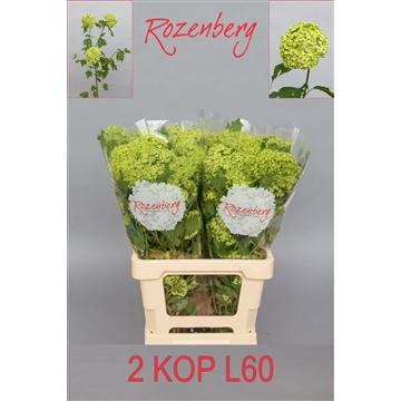 Viburnum opulus Roseum L60-2K