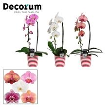 Phalaenopsis cascade 1 tak mix in Vibe (Soft Illusion-collectio)