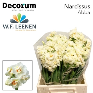 Narcissus Abba