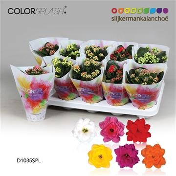 Kalanchoë ColorSplash - 5 Colors Mix