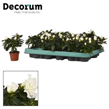 Azalea 6 cm Wit - Decorum