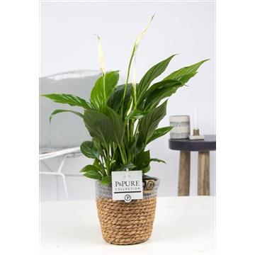 Spathiphyllum 12 cm Torelli Pure Collection