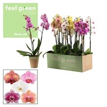 Phalaenopsis 2 tak mix 60 cm (Feel Green)