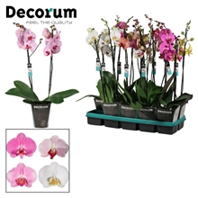 Phalaenopsis 2 tak mix lang (Decorum)