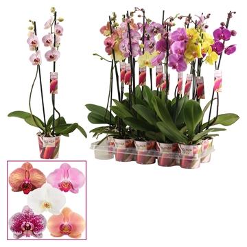 Phalaenopsis 2 tak mix lang (Scenza)