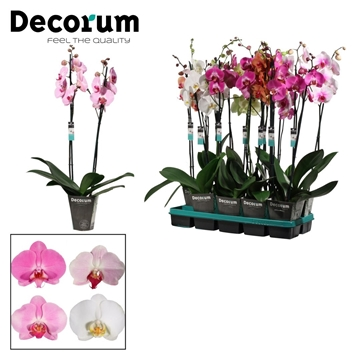 Phalaenopsis 2 tak East Europe mix (Decorum)