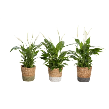 Spathiphyllum 12 cm Torelli in Amber mand - Shades of Natures