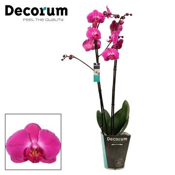 Phalaenopsis 2 tak Atlantis (Decorum)