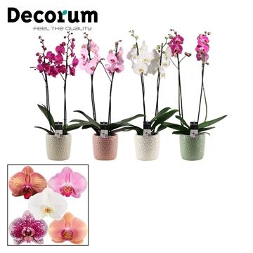 Phalaenopsis 2 tak mix in Becca (Dream Spirit)