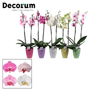 Phalaenopsis 2 tak mix in Carly pastel mix (Deco-collection)